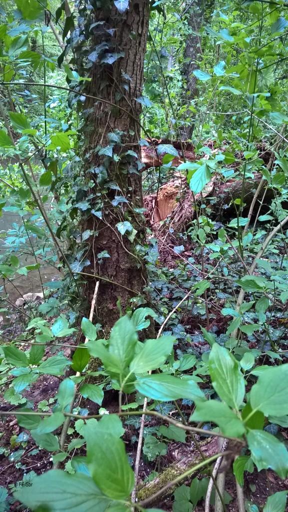 2016_05_14 - Baum_über_Wanderweg-2000px (3)